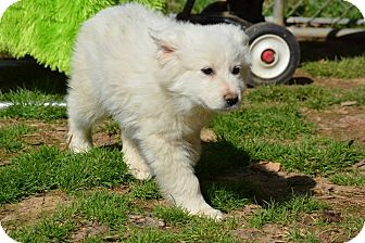 Great Pyrenees Mix Puppy for adoption in Westfield, Massachusetts - Penny