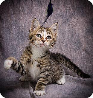 Domestic Shorthair Kitten for adoption in Anna, Illinois - HARRISON