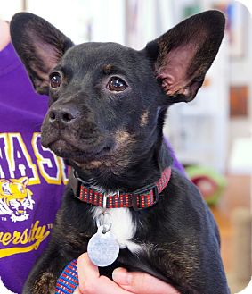Boston Terrier/Chihuahua Mix Puppy for adoption in Huntsville, Alabama - Dudley