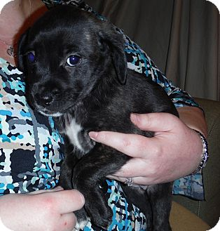 Chihuahua/Golden Retriever Mix Puppy for adoption in Winchester, Virginia - Daisy