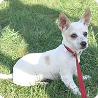 Adopt A Pet :: Tazz - Tumwater, WA