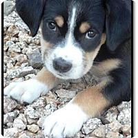Adopt A Pet :: Archer - Gilbert, AZ