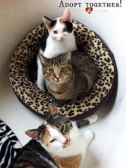 Calico Cat for adoption in Spring Branch, Texas - Faith