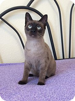 Tonkinese Kitten for adoption in Plano, Texas - RORY - SWEET TONKINESE!!