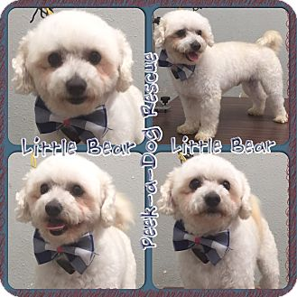 Miniature Poodle Dog for adoption in South Gate, California - Little bear