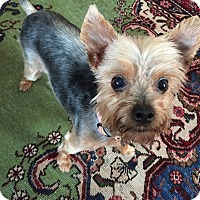 Adopt A Pet :: Sisi - Austin, TX