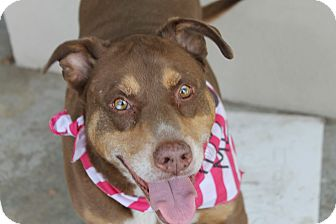 Doberman Pinscher/Pit Bull Terrier Mix Dog for adoption in Los Angeles, California - VERY URGENT!  Ginger