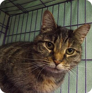 Domestic Shorthair Cat for adoption in Orleans, Vermont - Olive
