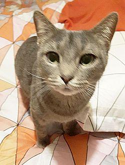 Domestic Shorthair Cat for adoption in Arlington/Ft Worth, Texas - Ellie