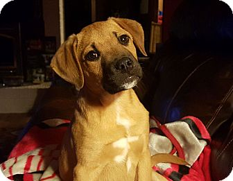 Labrador Retriever/Boxer Mix Puppy for adoption in Knoxville, Tennessee - Ben