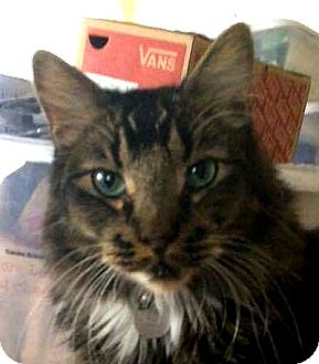 Domestic Longhair Cat for adoption in Winchester, California - Adam