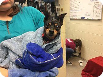 Miniature Pinscher Mix Dog for adoption in Janesville, Wisconsin - Vivian