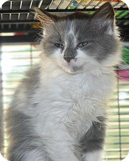 Ragdoll Kitten for adoption in Anderson, South Carolina - Boho