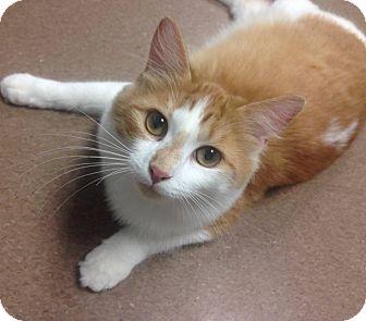 Domestic Longhair Cat for adoption in Hendersonville, North Carolina - Mariah