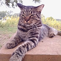 Domestic Shorthair Cat for adoption in Fischer, Texas - Tucker