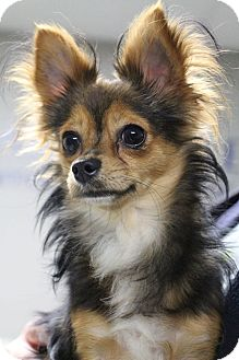 Chihuahua Mix Dog for adoption in Manitowoc, Wisconsin - Zeke