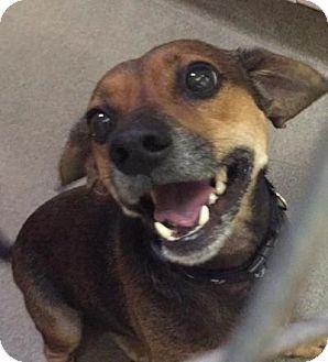 Beagle/Chihuahua Mix Dog for adoption in Boca Raton, Florida - Oscar