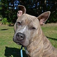 Adopt A Pet :: Nitro - Brookhaven, NY