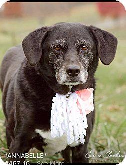 Labrador Retriever Mix Dog for adoption in Zanesville, Ohio - Annabelle - ADOPTED!
