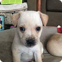 Adopt A Pet :: Dan-APPLICATION RECEIVED - Millersville, MD