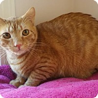 Domestic Shorthair Cat for adoption in Waxhaw, North Carolina - Streamer