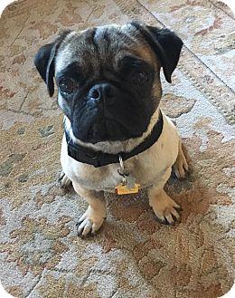 Pug Mix Puppy for adoption in Austin, Texas - Nimoy