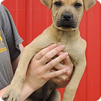 Adopt A Pet :: Dimitre - Joplin, MO