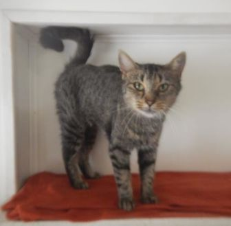 Domestic Shorthair/Domestic Shorthair Mix Cat for adoption in Erie, Pennsylvania - 9794 Mya
