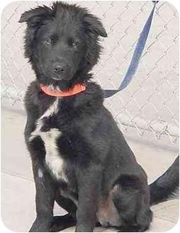 Retriever (Unknown Type)/Border Collie Mix Dog for adoption in Austin, Minnesota - Silky