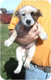 Blue Heeler Puppy for adoption in Provo, Utah - MILLY BEAR