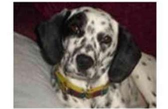 Dalmatian Mix Dog for adoption in Milwaukee, Wisconsin - Hope