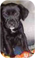 Setter (Unknown Type)/Labrador Retriever Mix Puppy for adoption in Wauseon, Ohio - Satin