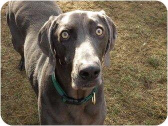Weimaraner Dog for adoption in Grand Haven, Michigan - Alfred