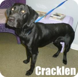 Labrador Retriever Mix Dog for adoption in Georgetown, South Carolina - Cracklen