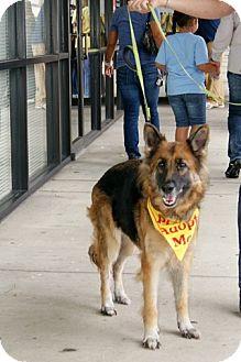 German Shepherd Dog Dog for adoption in Houston, Texas - Annie
