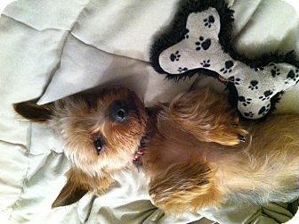 Yorkie, Yorkshire Terrier Mix Dog for adoption in Clearwater, Florida - Rango