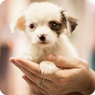 Chihuahua/Terrier (Unknown Type, Small) Mix Puppy for adoption in Dallas, Texas - Jean-Luc