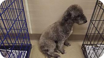 Bedlington Terrier Dog for adoption in Marshall, Texas - Harley Ann
