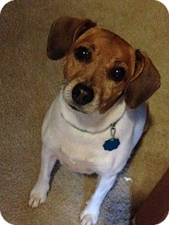 Jack Russell Terrier Dog for adoption in Blue Bell, Pennsylvania - Abby