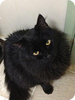 Domestic Longhair Cat for adoption in Maple Ridge, British Columbia - Dmitry
