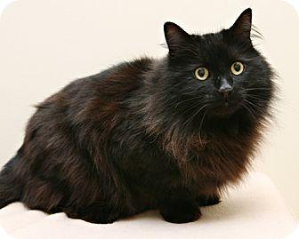 Domestic Longhair Cat for adoption in Bellingham, Washington - Theodore