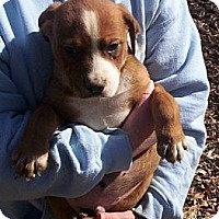 Adopt A Pet :: Popsicle ADOPTION PENDING - Danbury, CT