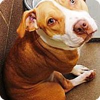 Adopt A Pet :: Rosey - Gilbert, AZ