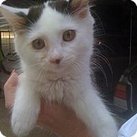 Adopt A Pet :: Little Bit - Monroe, GA