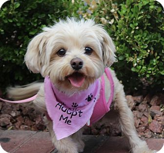 Maltese Mix Dog for adoption in Las Vegas, Nevada - MAGGIE ROO