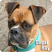 Adopt A Pet :: Sugar Ray - Encino, CA