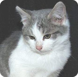 Domestic Shorthair Kitten for adoption in Walworth, New York - Morton