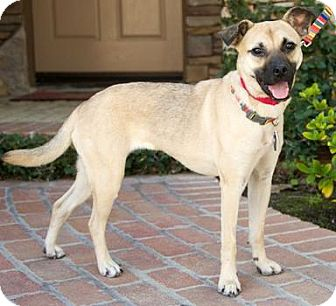 Black Mouth Cur Mix Dog for adoption in Van Nuys, California - Angel