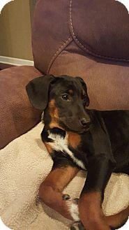 Doberman Pinscher Mix Dog for adoption in Cranford, New Jersey - Daisy