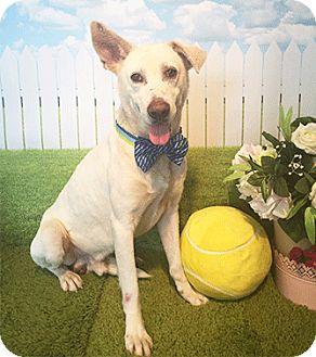 Labrador Retriever Mix Dog for adoption in Castro Valley, California - Boo